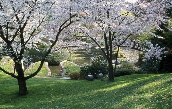 HANAMI, LA FETE DES CERISIERS Au Japon, la floraison des cerisiers fait l'objet d'un temps de contemplation ( hanami, regarder les fleurs) qu'observent tous les habitants : c'est le moment de se retrouver dans les parcs, au pied de ces arbres, pour pique-niquer en famille et admirer ces splendides floraisons. Près de Paris, au parc de Sceaux où un bosquet de 150 P. serrulata 'Kanzan' a été planté près du Grand Canal, les japonais de la région s'y retrouvent nombreux pour y fêter Hanami, en général entre mi et fin avril. En Belgique, au jardin japonais de Hasselt, la fête des cerisiers se tient chaque année début avril.