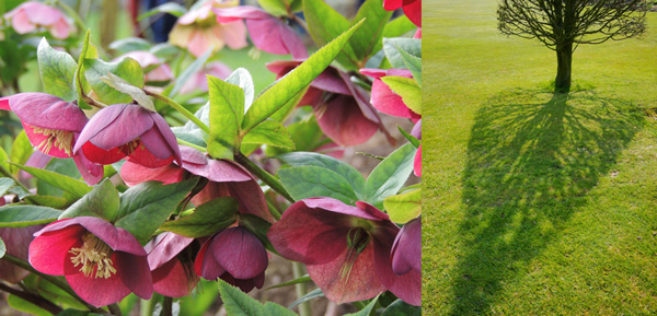 A la sortie de l'hiver, quand les jardins ré-ouvrent au public, les hellébores ( ici Helleborus 'Little Black') forment un spectacle somptueux. Et la transparence des pyramides de charmes parle du savoir-faire des jardiniers.