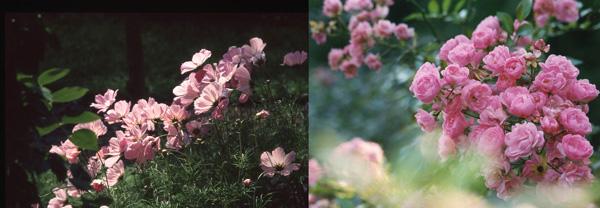 Quand l'été s'approche, c'est le temps des floraisons dans la roseraie, d'inspiration française. Dans les parterres, les cosmos aux pétales diaphanes, captent les rayons du soleil.