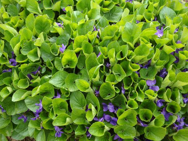 La violette de Rouen, en voie de  disparition mais présente dans le jardin du Conservatoire botanique de Bailleul , pourrait être sauvegardée dans des jardins.