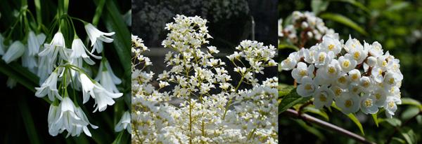 De gauche à droite : Tupistra chinensis, Saxifraga longifolia 'Francis Cade' et Deutzia rubens. Jardin Botanique de Glasnevin.